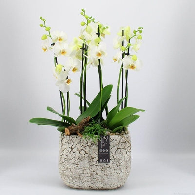 Orchids delivery for Moscow