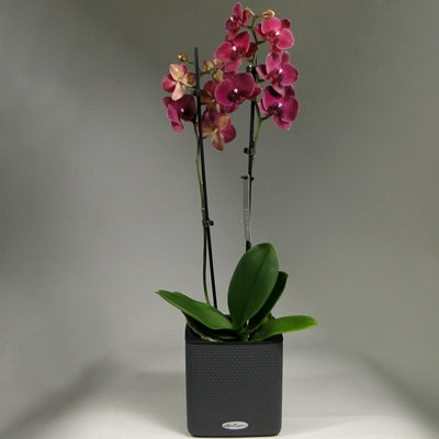 Orchid delivery to Moscow Russia