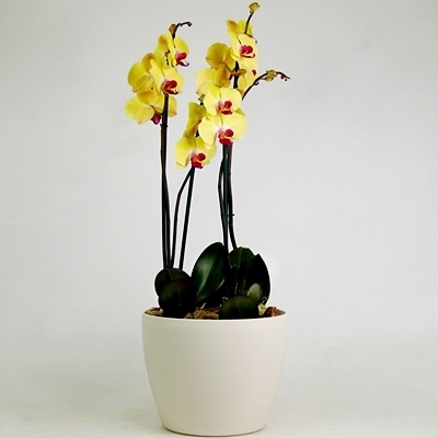 Send orchids to Moscow Russia